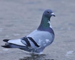 Pigeong in and around Chukkimane