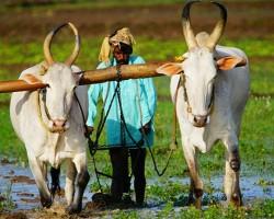 Farmer busy ploughing in paddy field