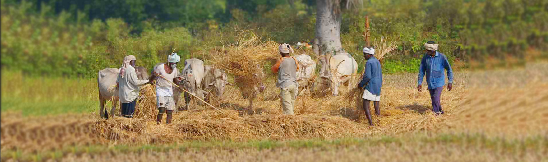 Farmer Thrashing Paddy along with Cows near Chukkimane
