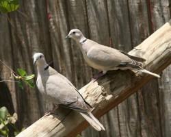 Natural twin birds around Banaglore