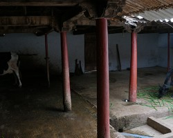 Shelter for cattles in village near Bangalore