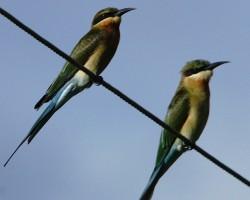 Twin birds around Chukkimane