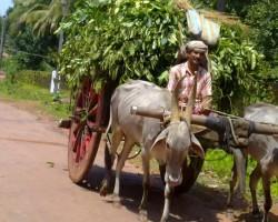 Village life bullock cart ride
